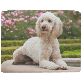USA, California. Labradoodle Lying By Fountain iPad Cover