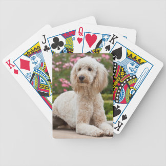 USA, California. Labradoodle Lying By Fountain Poker Deck