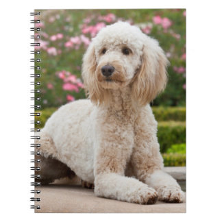 USA, California. Labradoodle Lying By Fountain Spiral Notebook
