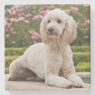 USA, California. Labradoodle Lying By Fountain Stone Coaster