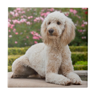 USA, California. Labradoodle Lying By Fountain Tile