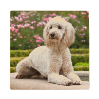USA, California. Labradoodle Lying By Fountain Wood Coaster