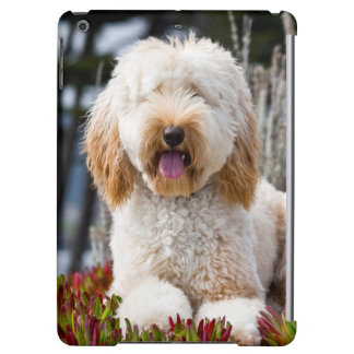 USA, California. Labradoodle Lying In Ice Plant