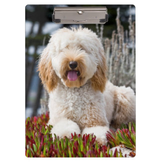 USA, California. Labradoodle Lying In Ice Plant Clipboard