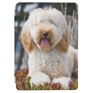USA, California. Labradoodle Lying In Ice Plant iPad Air Cover