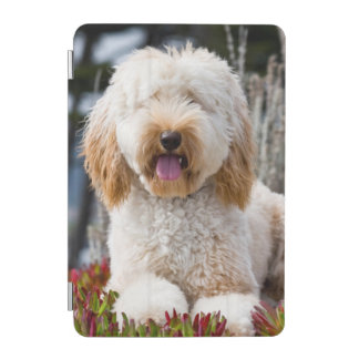 USA, California. Labradoodle Lying In Ice Plant iPad Mini Cover