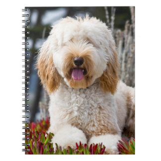USA, California. Labradoodle Lying In Ice Plant Notebooks