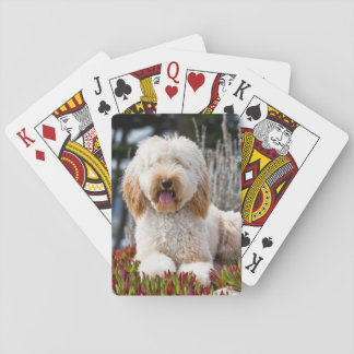 USA, California. Labradoodle Lying In Ice Plant Playing Cards