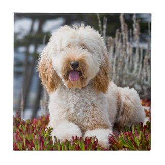 USA, California. Labradoodle Lying In Ice Plant Tile