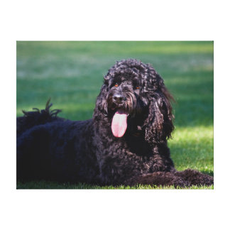USA, California. Labradoodle Lying On The Grass Gallery Wrapped Canvas