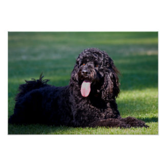 USA, California. Labradoodle Lying On The Grass Poster