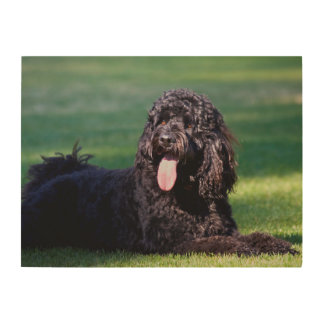 USA, California. Labradoodle Lying On The Grass Wood Print