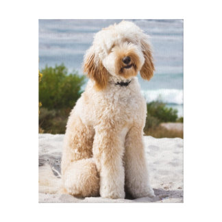 USA, California. Labradoodle Sitting 2 Canvas Print