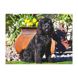 USA, California. Labradoodle Sitting 3 Canvas Print