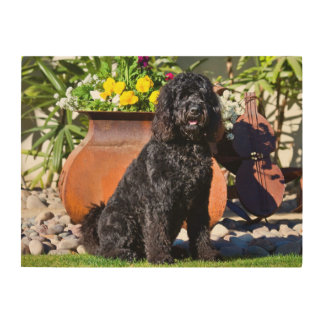 USA, California. Labradoodle Sitting 3 Wood Wall Art