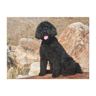 USA, California. Labradoodle Sitting Gallery Wrapped Canvas