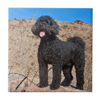 USA, California. Labradoodle Standing Tile