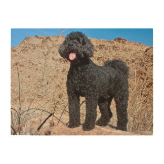 USA, California. Labradoodle Standing Wood Wall Art