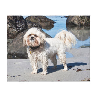 USA, California. Lhasa Apso Standing Stretched Canvas Prints