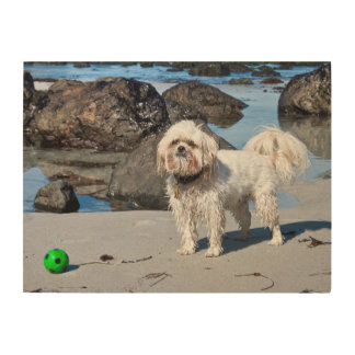 USA, California. Lhasa Apso Standing Wood Print