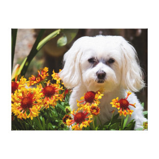 USA, California. Maltese In A Flower Pot Gallery Wrapped Canvas