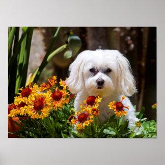USA, California. Maltese In A Flower Pot Poster