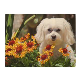 USA, California. Maltese In A Flower Pot Wood Wall Art