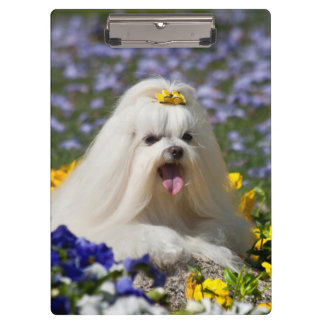 USA, California. Maltese Lying In Flowers Clipboard