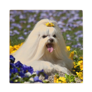 USA, California. Maltese Lying In Flowers Wood Coaster