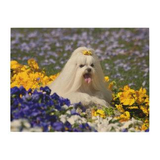 USA, California. Maltese Lying In Flowers Wood Wall Art