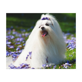 USA, California. Maltese Posing In Purple Stretched Canvas Print