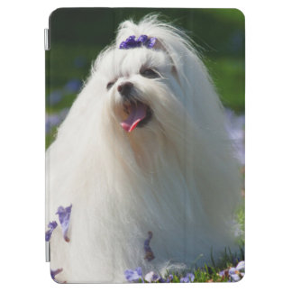 USA, California. Maltese Posing In Purple iPad Air Cover
