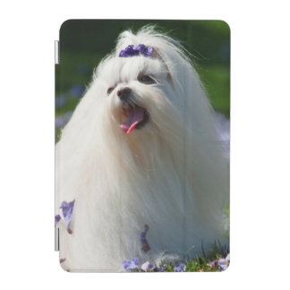 USA, California. Maltese Posing In Purple iPad Mini Cover