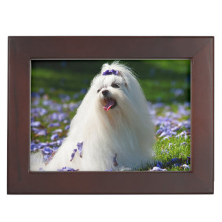 USA, California. Maltese Posing In Purple Keepsake Box