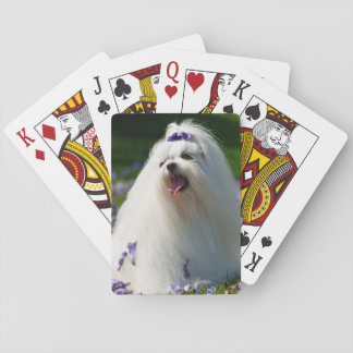 USA, California. Maltese Posing In Purple Playing Cards