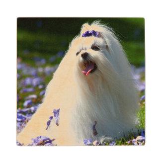 USA, California. Maltese Posing In Purple Wood Coaster