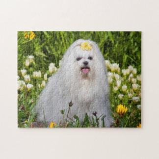 USA, California. Maltese Sitting Jigsaw Puzzle