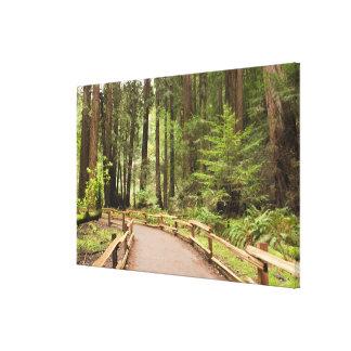 USA, California, Marin County, Muir Woods Canvas Print