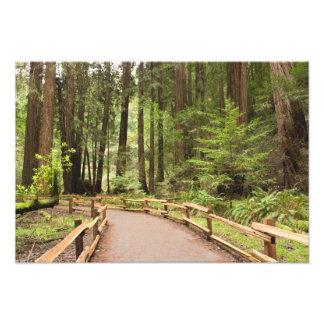USA, California, Marin County, Muir Woods Photo Print