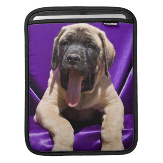 USA, California. Mastiff Puppy In Purple Sleeves For iPads