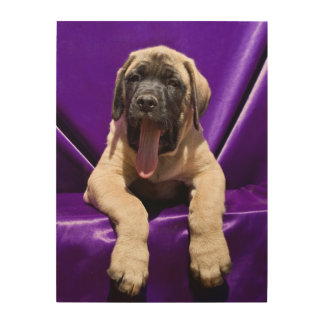 USA, California. Mastiff Puppy In Purple Wood Print