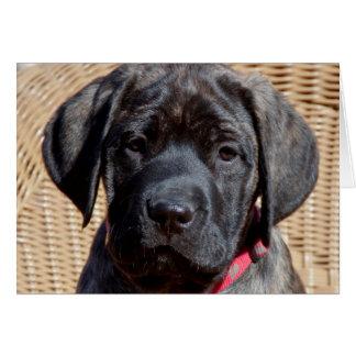 USA, California. Mastiff puppy looking at you. Card