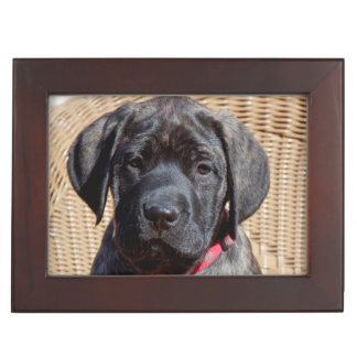 USA, California. Mastiff puppy looking at you. Keepsake Box