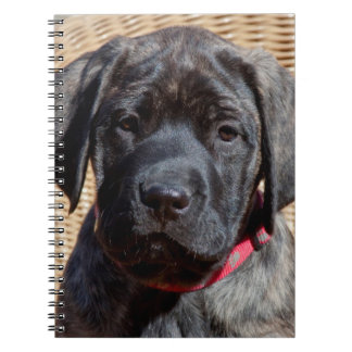 USA, California. Mastiff puppy looking at you. Notebooks