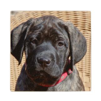 USA, California. Mastiff puppy looking at you. Wood Coaster