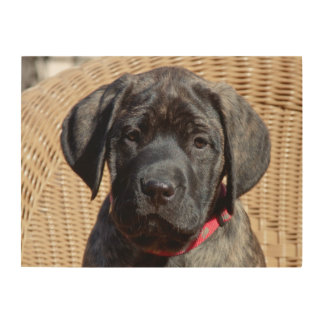 USA, California. Mastiff puppy looking at you. Wood Wall Art