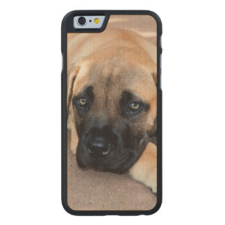 USA, California. Mastiff Puppy Lying On Cement Carved Maple iPhone 6 Case