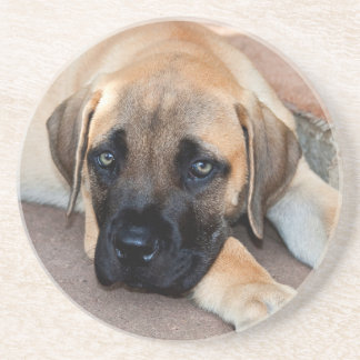 USA, California. Mastiff Puppy Lying On Cement Coaster