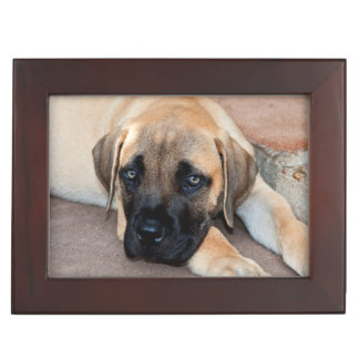 USA, California. Mastiff Puppy Lying On Cement Memory Boxes