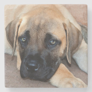 USA, California. Mastiff Puppy Lying On Cement Stone Coaster